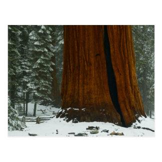 Árbol de la secoya en postal del invierno