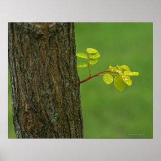 Árbol de langosta negra que crece una nueva rama póster