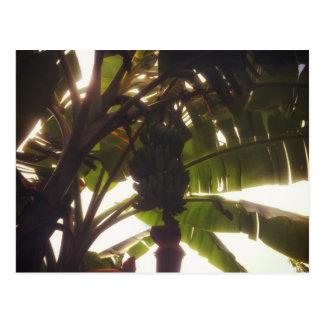 Árbol de llantén en la riqueza común de Dominica Tarjetas Postales