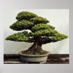 Árbol de los bonsais de White Pine del japonés Póster