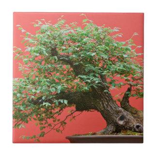 Árbol de los bonsais de Zelkova Tejas Cerámicas