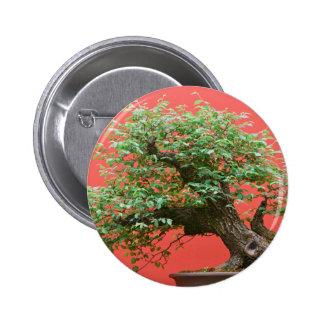 Árbol de los bonsais de Zelkova Pin
