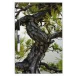 Árbol de los bonsais del pino rojo japonés pizarra blanca