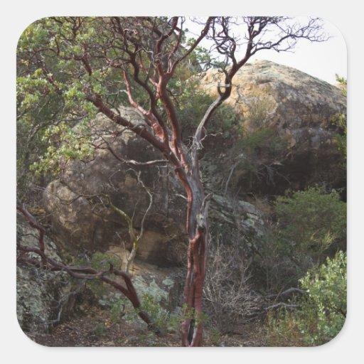 Árbol de Manzanita Pegatina Cuadrada