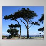 Árbol de Monterey Cypress, foto de la costa costa Posters