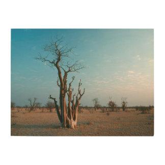 Árbol de Moringo del africano en el llano, Impresiones En Madera