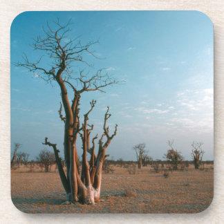Árbol de Moringo del africano en el llano, Posavasos