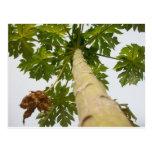 Árbol de papaya, Nigeria Postales