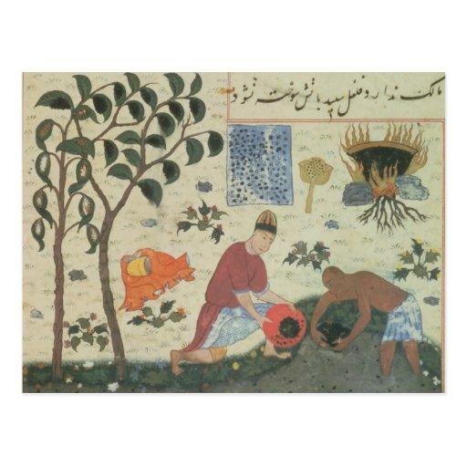 Árbol de pimienta de ms Pers 332 y pimienta de la Tarjetas Postales