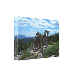 Árbol de pino de Bristlecone Lona Envuelta Para Galerías