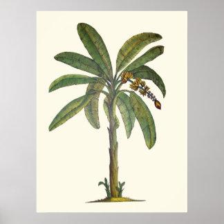 Árbol de plátano botánico póster