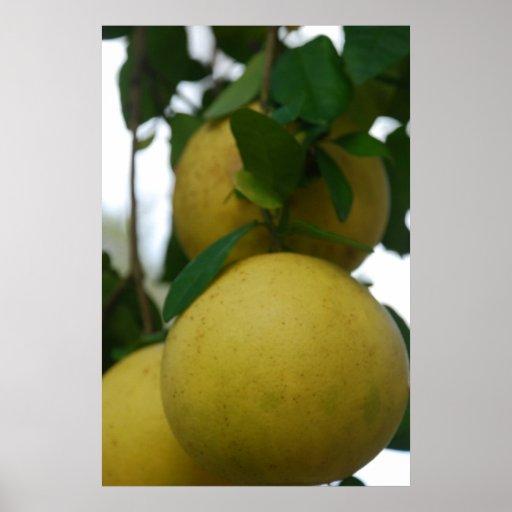 Árbol de pomelo de la Florida Impresiones