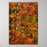Árbol de Sumac en color del otoño en pescado blanc Póster