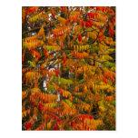 Árbol de Sumac en color del otoño en pescado Tarjeta Postal