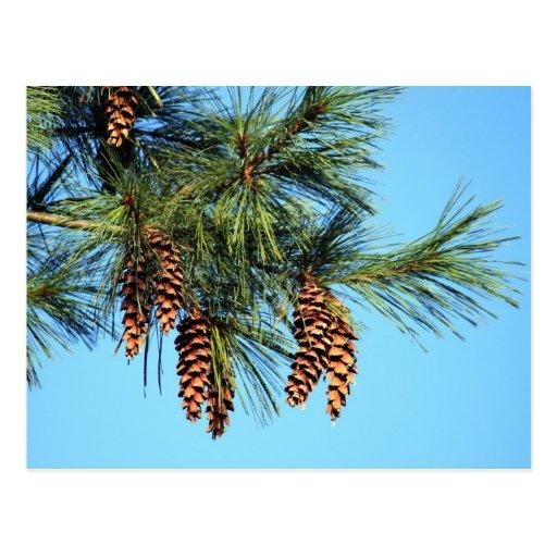 Árbol de White Pine Postales
