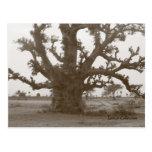 Árbol del baobab de Senegal Postales