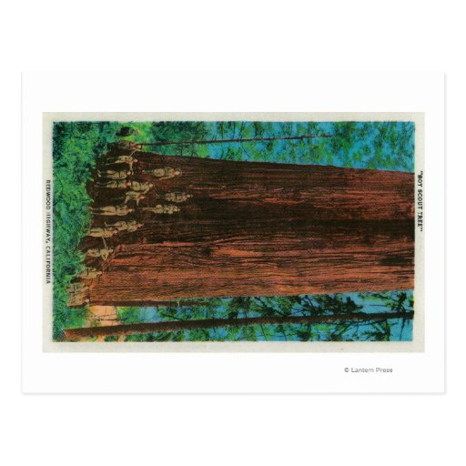 Árbol del boy scout en la secoya HighwayRedwoods, Tarjetas Postales