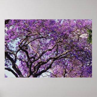 Árbol del Jacaranda en flores de la floración de l Póster