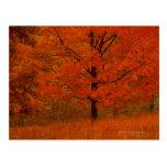 Árbol del otoño con follaje rojo postal