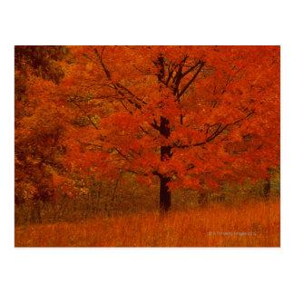 Árbol del otoño con follaje rojo postales
