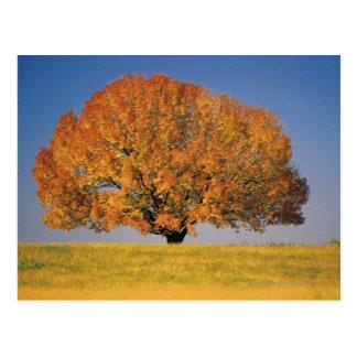 Árbol del otoño en campo extenso postales