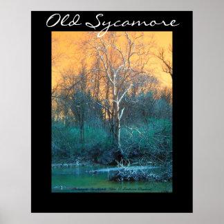 Árbol del sicómoro, sicómoro viejo póster