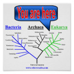 Árbol evolutivo posters