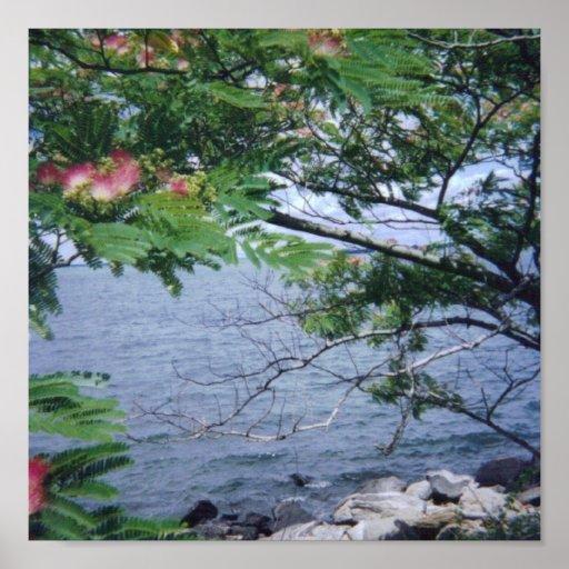 Árbol floreciente del Mimosa con la opinión del ag Póster