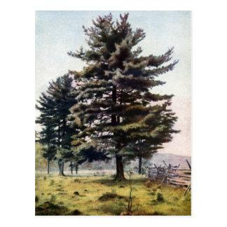Árbol majestuoso de White Pine Postales