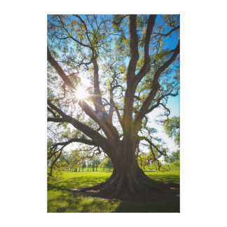 Árbol meridional de Live Oak Impresiones En Lona Estiradas