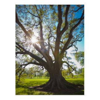 Árbol meridional de Live Oak Postales