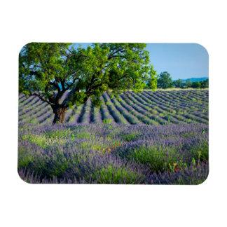 Árbol solitario en el campo púrpura de la lavanda imanes