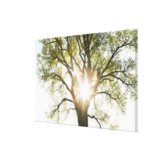 Árbol Sunlit Impresiones En Lona Estiradas