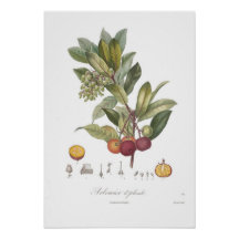 Árbol unedo-Stawberry del Arbutus Posters