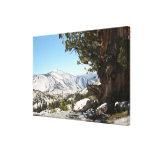 Árbol viejo en el parque nacional de Yosemite Lona Envuelta Para Galerias