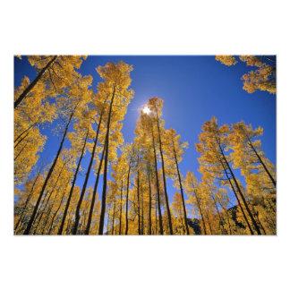 Arboleda de Aspen en otoño en la gama de San Juan  Impresión Fotográfica