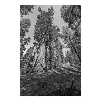 Arboleda de la secoya en negro y blanco impresión fotográfica