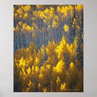 Arboledas del árbol de Aspen en colores de la caíd Póster