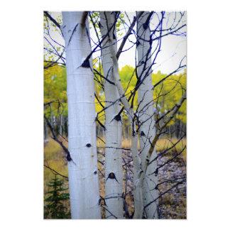 Árboles de abedul de Colorado Arte Fotográfico