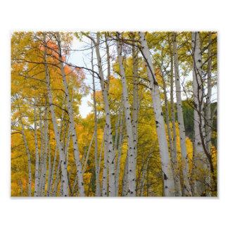 Árboles de abedul de Colorado en la caída Cojinete
