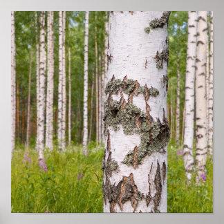 árboles de abedul en bosques finlandeses póster