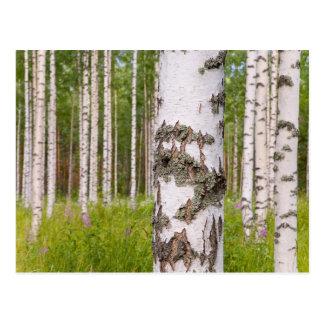 árboles de abedul en bosques finlandeses postal