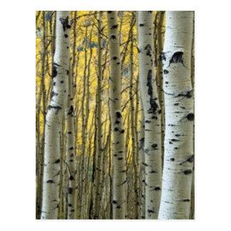 árboles de abedul tarjeta postal