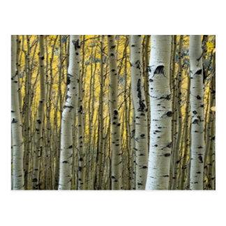 árboles de abedul postales