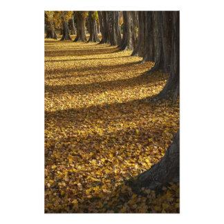 Árboles de álamo en otoño, lago Wanaka, Otago, Cojinete