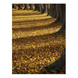 Árboles de álamo en otoño, lago Wanaka, Otago, Postales