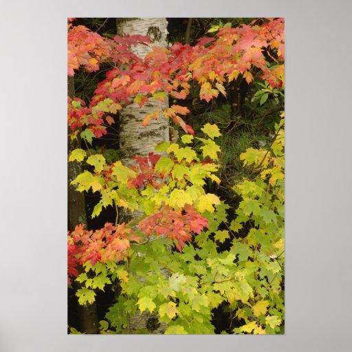 Árboles de arce del otoño y árbol de abedul, blanc posters