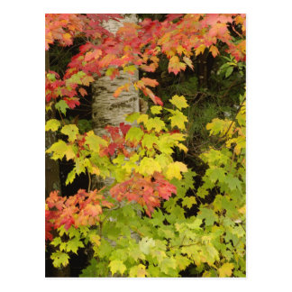 Árboles de arce del otoño y árbol de abedul, blanc tarjetas postales