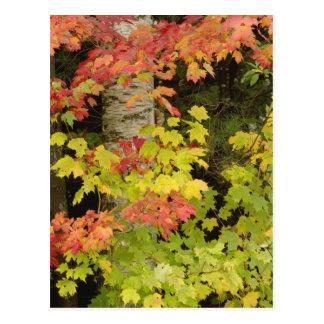 Árboles de arce del otoño y árbol de abedul, postal