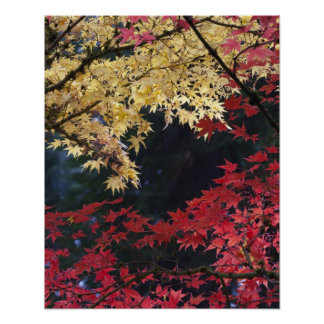 Árboles de arce en color del otoño poster